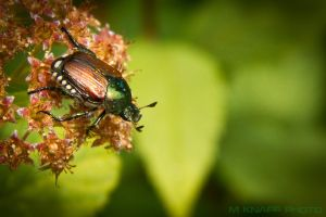 Japanese beetle by thedirtyknapkin