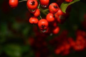 Red Berries by sweir17