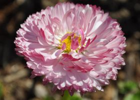 small pink daisy by snoogaloo