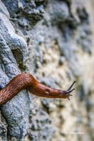 snail on the lookout by ThomasWeihs