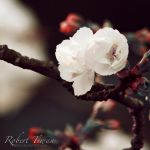 Blooming by ravador