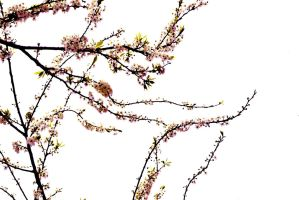 Pink Cherry Blossom Branches Stock by jojo22