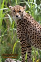 110810 Cheetah 1 by InsaneGelfling