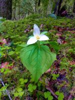 Trillium 2015 by lupagreenwolf