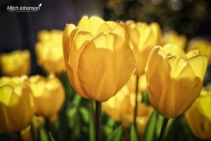 Group of Yellow Tulips by mjohanson
