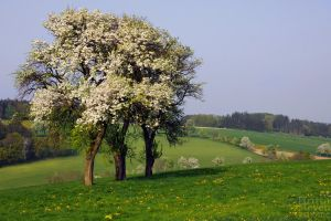 flowering trees by brijome