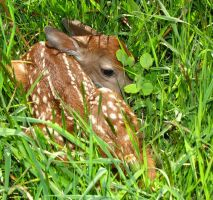Newborn Fawn by KAKruger
