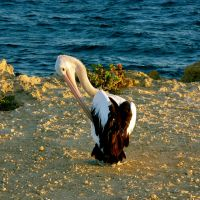 Pelican... by MissSpocks
