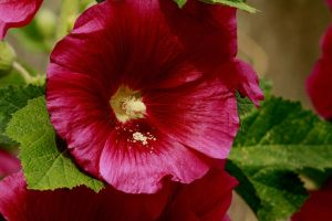 Pink Hollyhock by Tinap