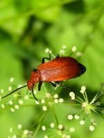 Red Cardinal Beetle by iriscup