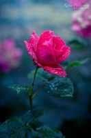 Last Rose by Pamba