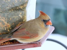 FEMALE CARDINAL 4 by sharkbaits