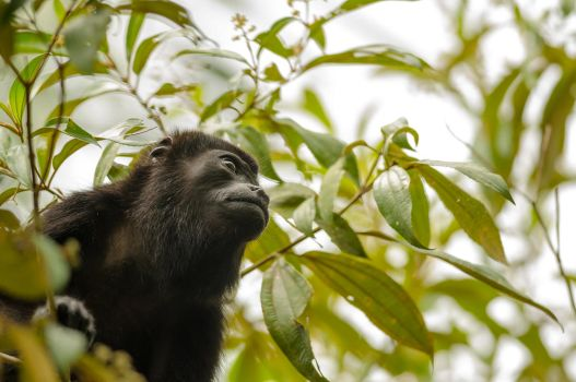 Howler Monkey by do7slash