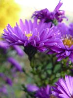 Aster Novae-Angliae by worseevil