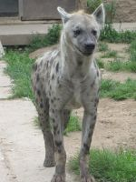 Spotted Hyena 05 by animalphotos