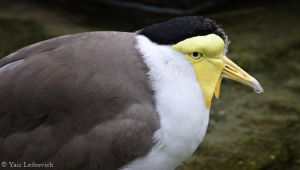 masked lapwing by Yair-Leibovich