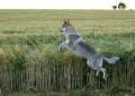 Wolfdogs Can Fly XIX. by Czertice