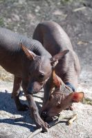 Little pups by Xoloitzcuintle