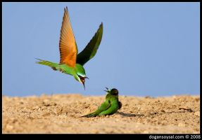 BLUE CHEEKED BEE EATER... by dogansoysal
