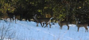8 degree Deer herd by natureguy