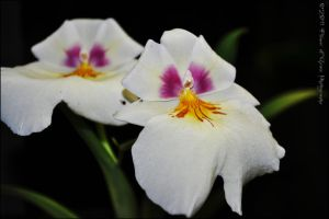 Miltoniopsis Hybrid Orchid by Flower-of-Grace