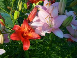 Pink Red Asiatic Lily 2 by racheltorres921