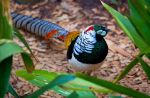 Lady Amherst's Pheasant by deseonocturno