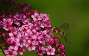 Hoverfly on pink II by webcruiser