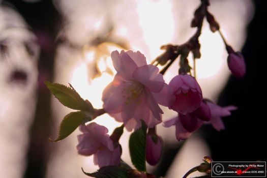 Pink by Alban0x