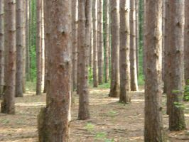 Random Pine Forest 2 by Immortal-angel-stock