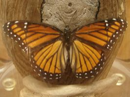 Viceroy Butterfly by FantasyStock