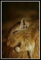 Sleeping Gerbil by JennyTangen