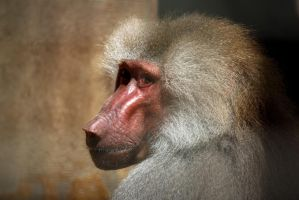 Baboon by FReeZeR73