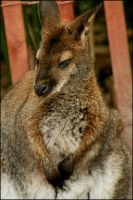 Not a Baby 'Roo by RoxMad