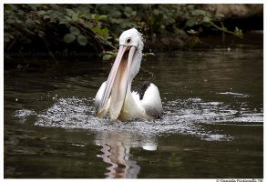 Pervy Pelican by TVD-Photography