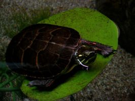 Tortue 2 by Snyki