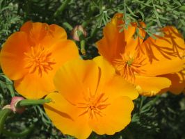 California Poppies by AlxBlack17