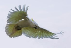 Sulphur Crested Cockatoo 33 by chezem