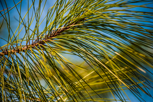 Pine Needles by Nyoung3