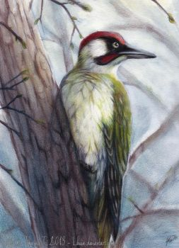 Picus Viridis by Lhuin