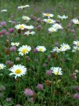 daisies and clovers by LucieG-Stock