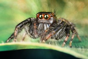 Jumping Spider by djusa