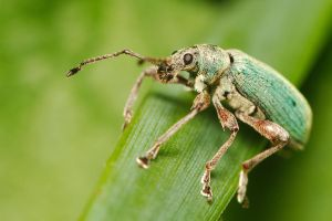 Green weevil by andabata
