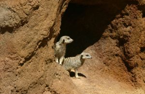 Meerkats by SmellsLikeDookie