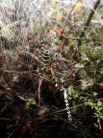 Tiger spider by liditoo