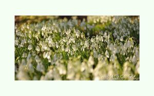 Snowdrop Carpet by avalonmoon13