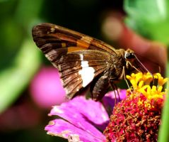 Silver-Spotted Skipper by SoCallMeNothing