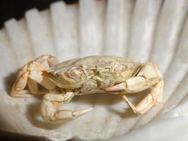 Green Crab Exoskeleton 2 by Laquera