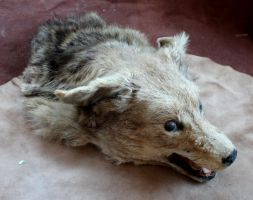 Taxidermy Coyote and More FS! by lupagreenwolf