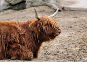 Scottish Highland Cattle by filthyhandss